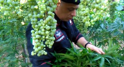 cerignola-marijuana-5-tonnellate-vigneto-carabinieri-piantagione-erba-Cronaca