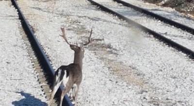 daino-giro-binari-stazione-ferrovie-gargano-bambi-Provincia