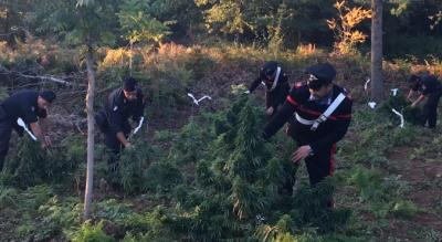 san-marco-lamis-foggia-scoperta-piantagione-marijuana-Cronaca