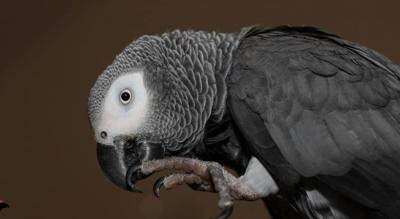 pappagallo-esotico-abbandonato-sequestro-carabinieri-monte-sant-angelo-Società